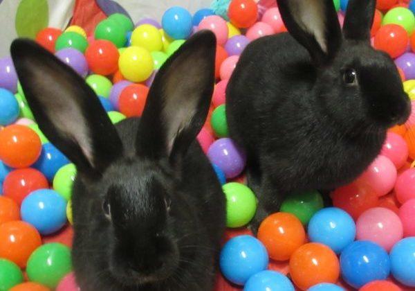 black bunnys 2